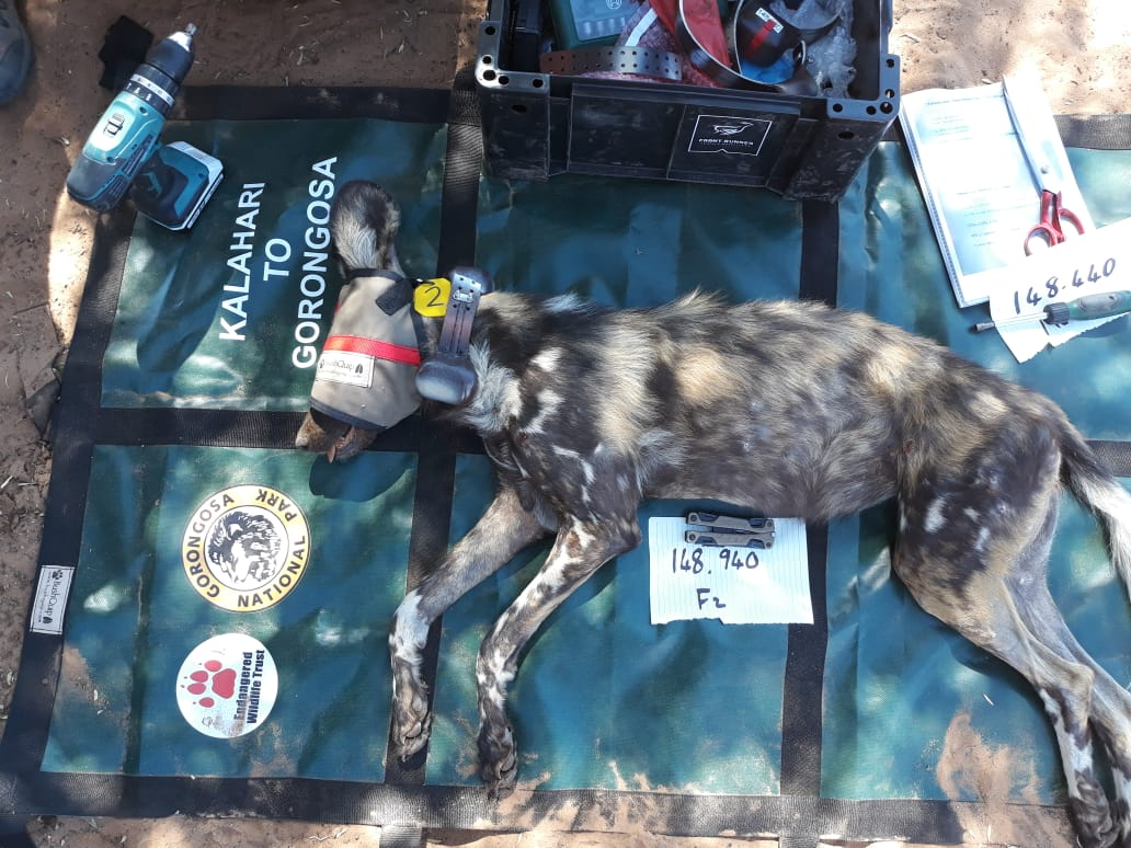 Second relocation of Wild Dogs to Gorongosa