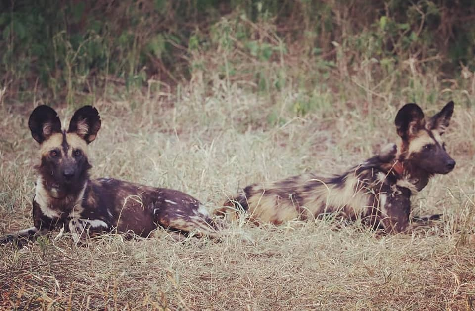 Update Gorongosa Wild Dogs: Why do we do what we do?