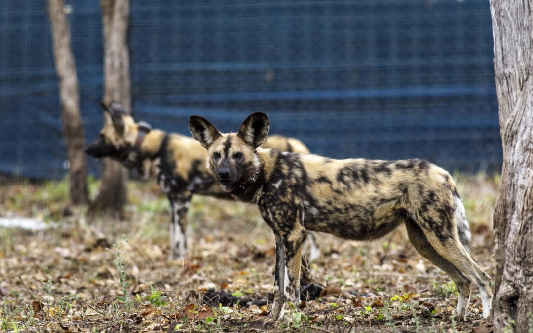 African Wild Dogs return to Malawi